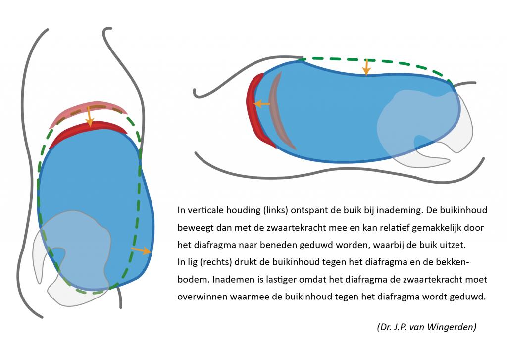 systematische weergave van de werking van buikdruk op het diafragma bij liggende of verticale ademhaling of beademing